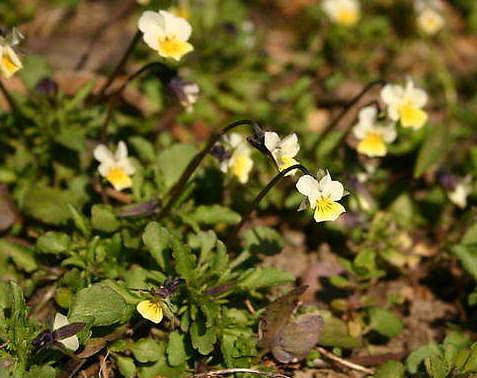 Фіалка польова (Viola arvensis Murr.) | Agroscience.com.ua ...