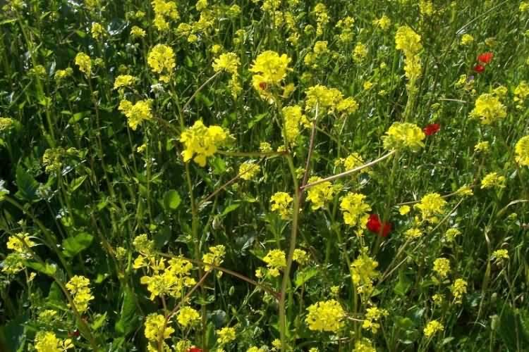 Гірчиця польова (Sinapis arvensis L.). | Agroscience.com.ua ...